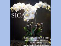 Bán chậu hoa lan trắng trang trí đẹp